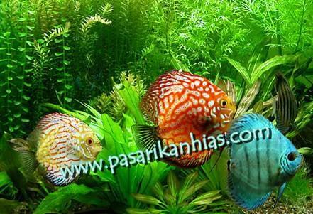 Image of Jual Ikan Discus Borongan