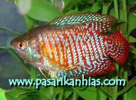 Image of Jual Ikan Arwana Super Red Murah