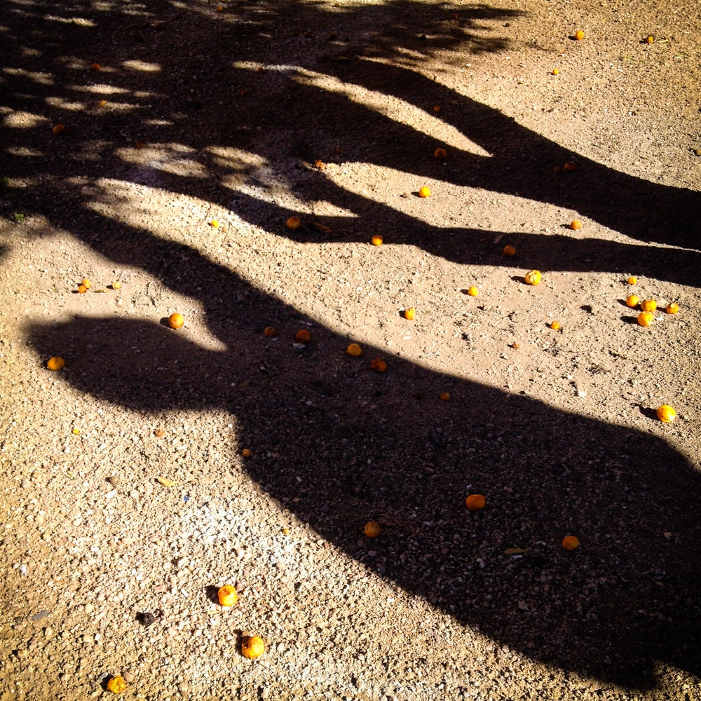 Image of Tucson loquat