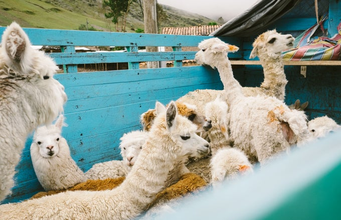 Image of Peru Alpacas
