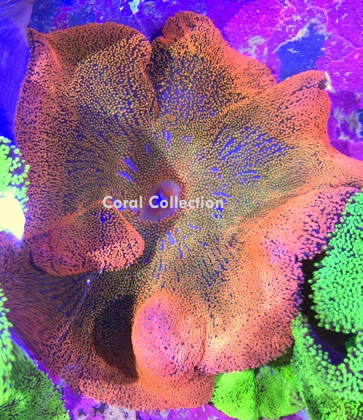 Image of Rainbow Carpet Anemone