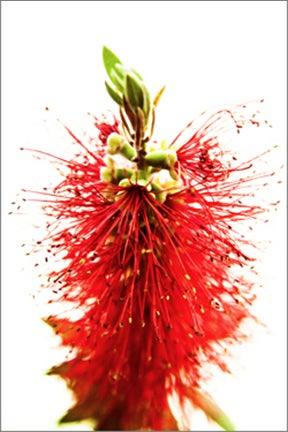 Image of Bottlebrush Callistemon