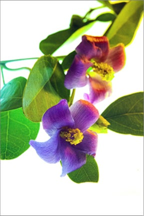 Image of Lagunaria patersonii Primrose Tree