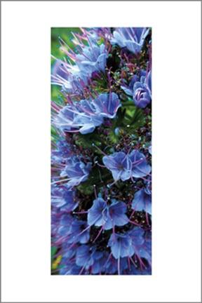 Image of 'Pride of Madeira' Echium Candicans
