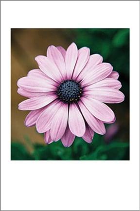 Image of Purple Daisy