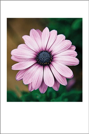 Image of Purple Daisy