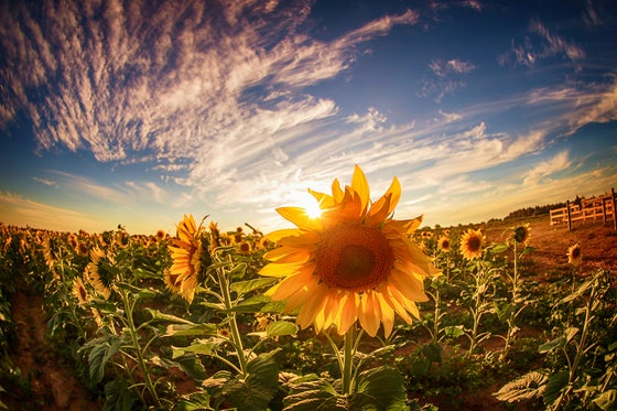Image of Sunflower (Full)