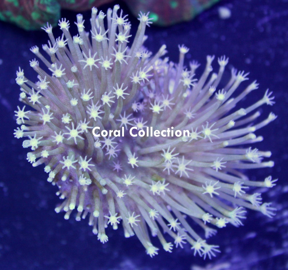 Image of CC Large Polyp Toadstool