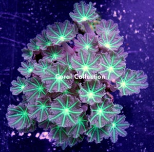 Image of Neon Clove Polyp Colony