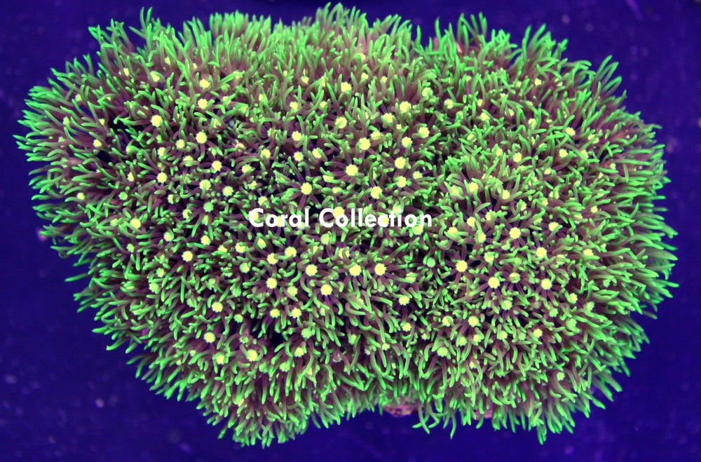 Image of Star Polyp Colony