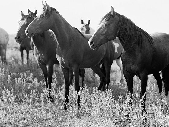 Image of mustangs of the west no.4
