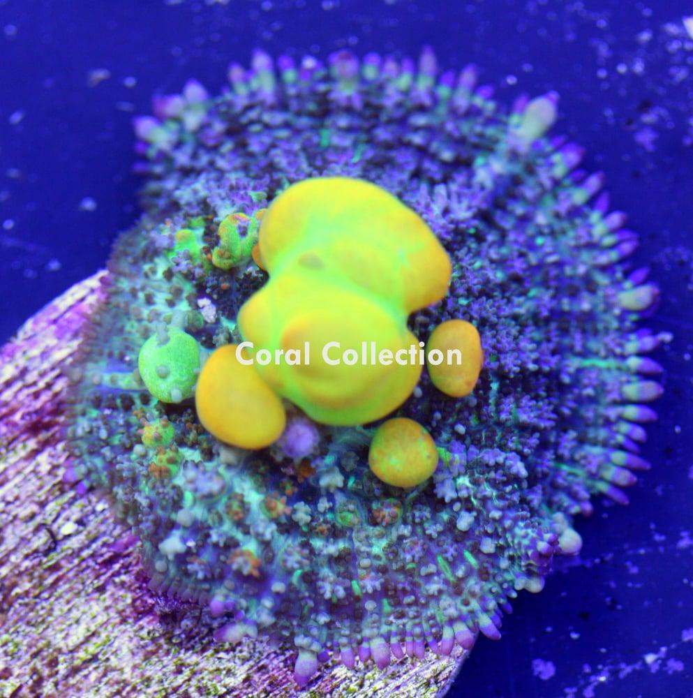 Image of WWC Bounce mushroom