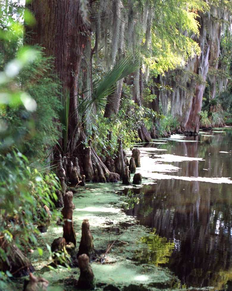 Image of Cypress trees