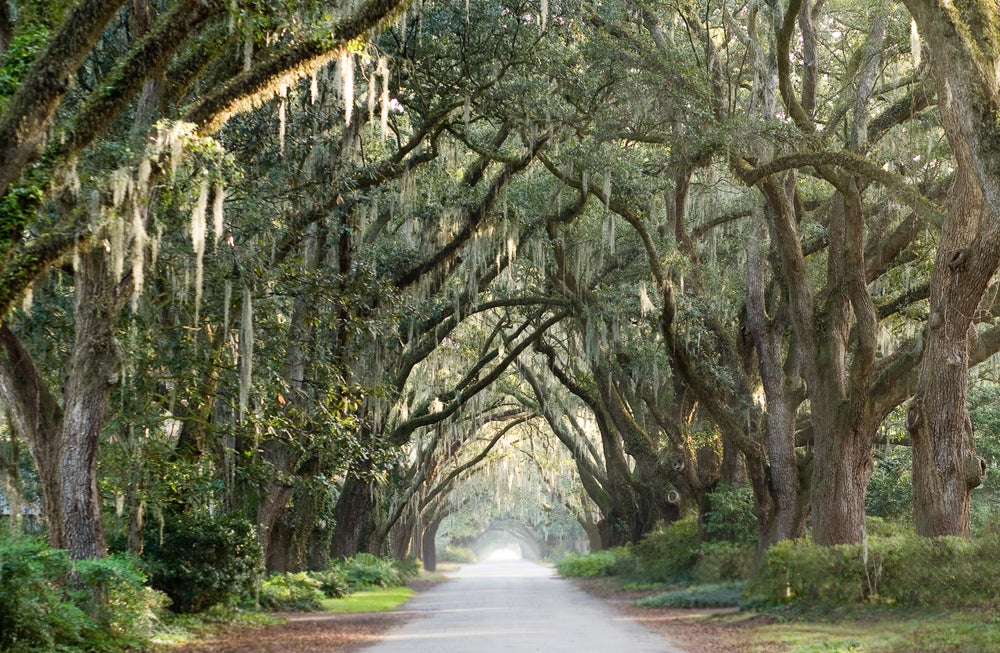 Image of Avenue of oaks
