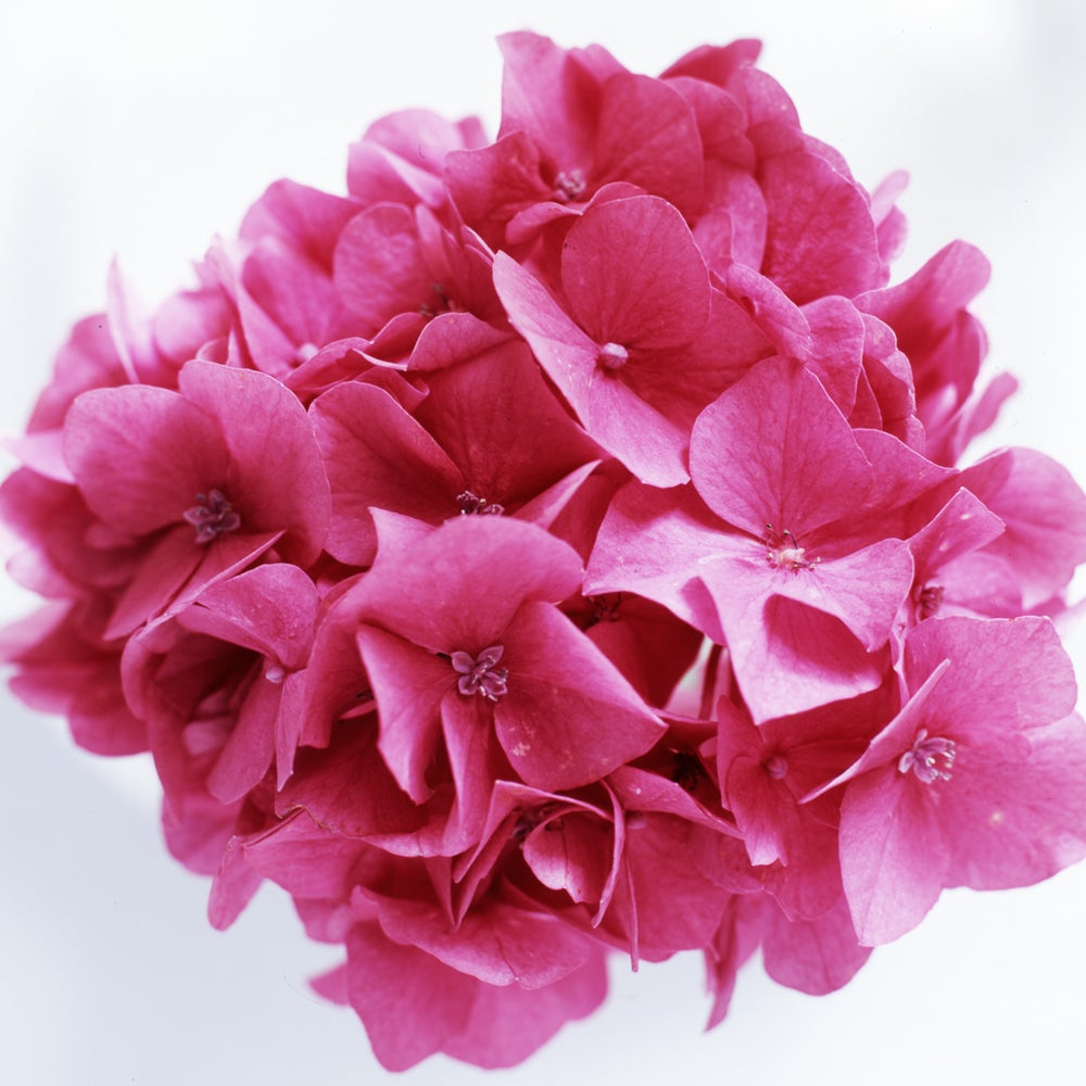 Image of Pink hydrangea
