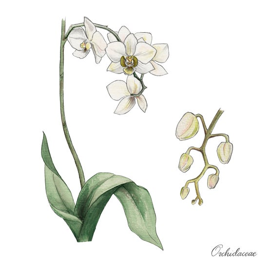 Image of Orchid - Limited Edition Print
