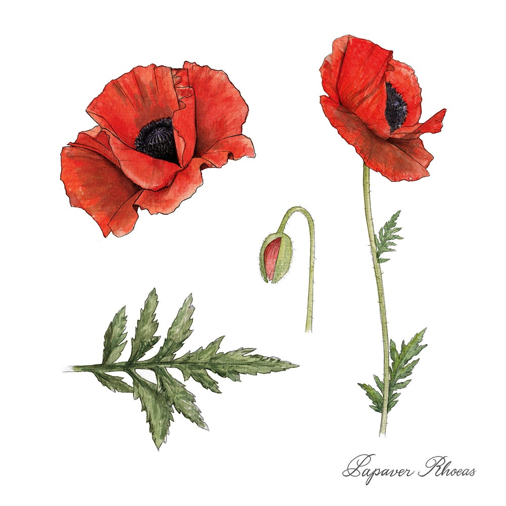 Image of Red Poppy - Limited Edition Print