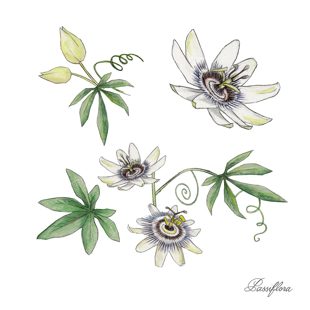 Image of Passion Flower - Limited Edition Print