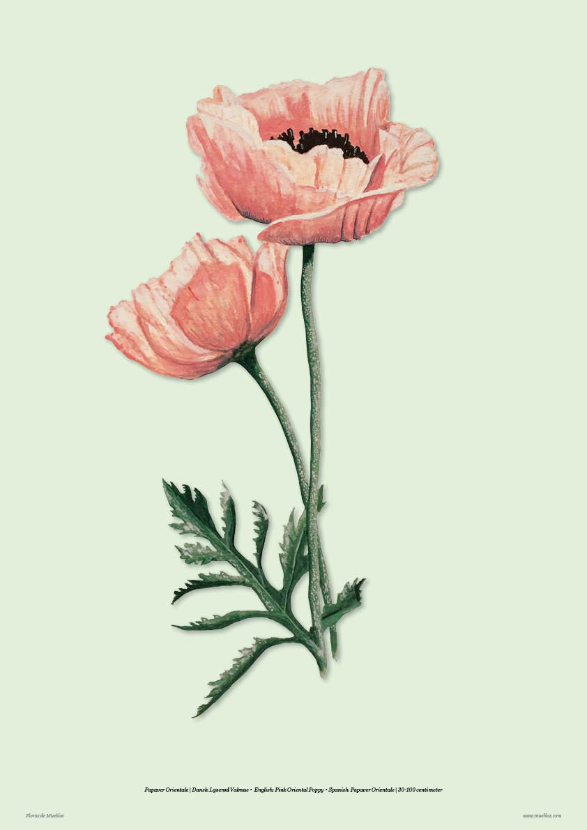Image of La Pink Poppy