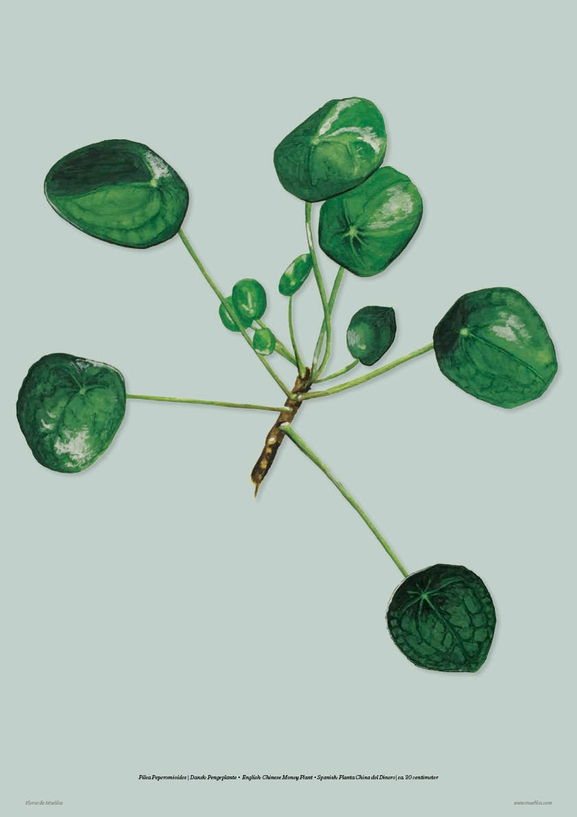 Image of Pilea con el color