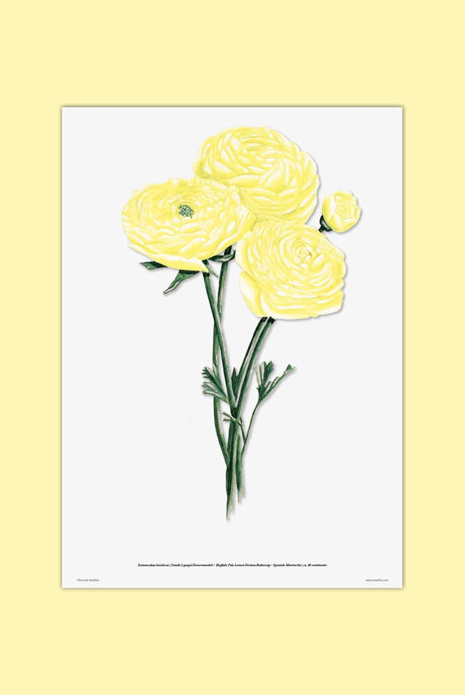 Image of Pale Lemon Persian Buttercup