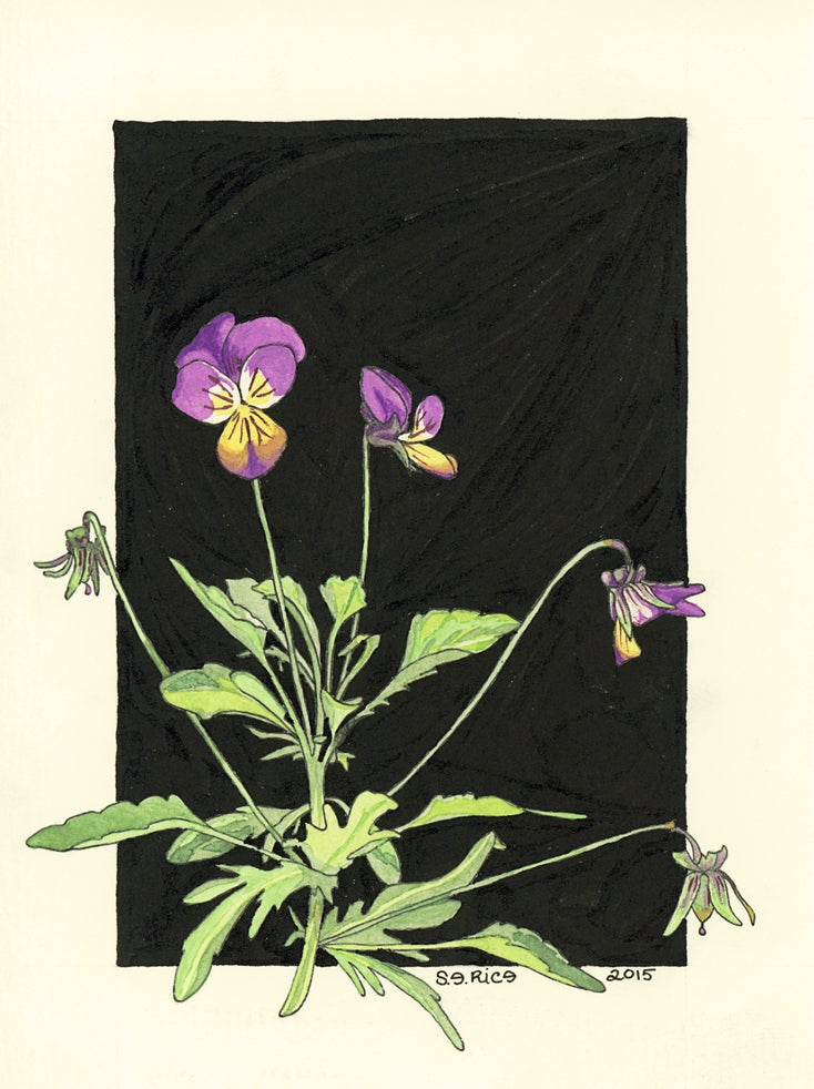 Image of Wild Pansy