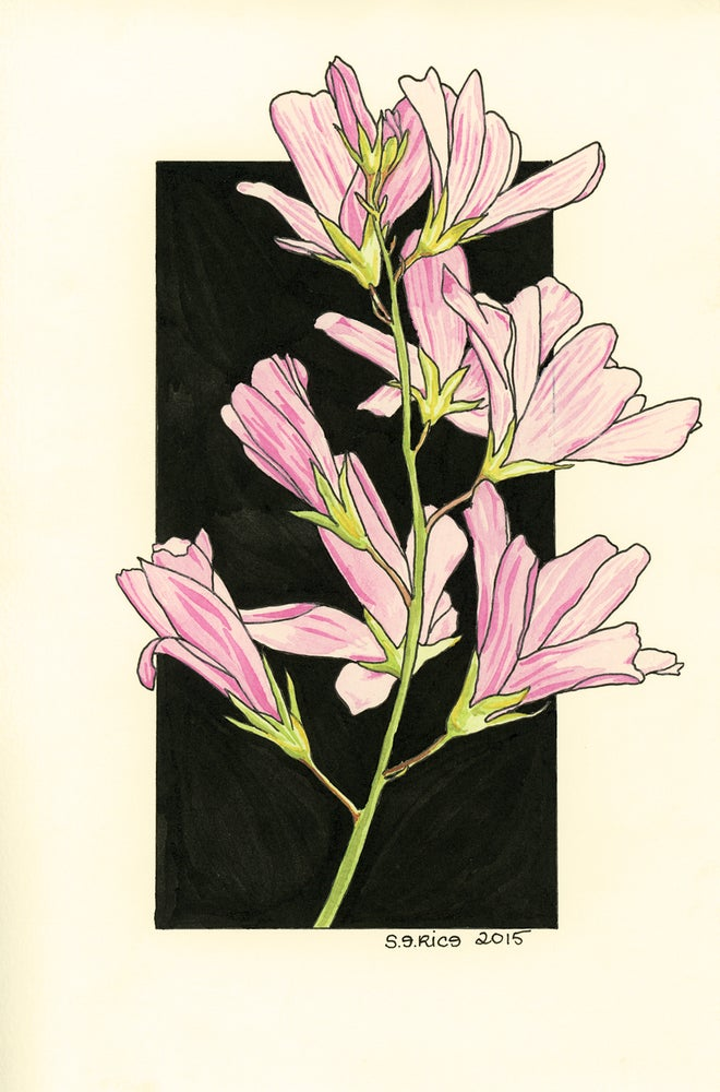 Image of Prairie Mallow