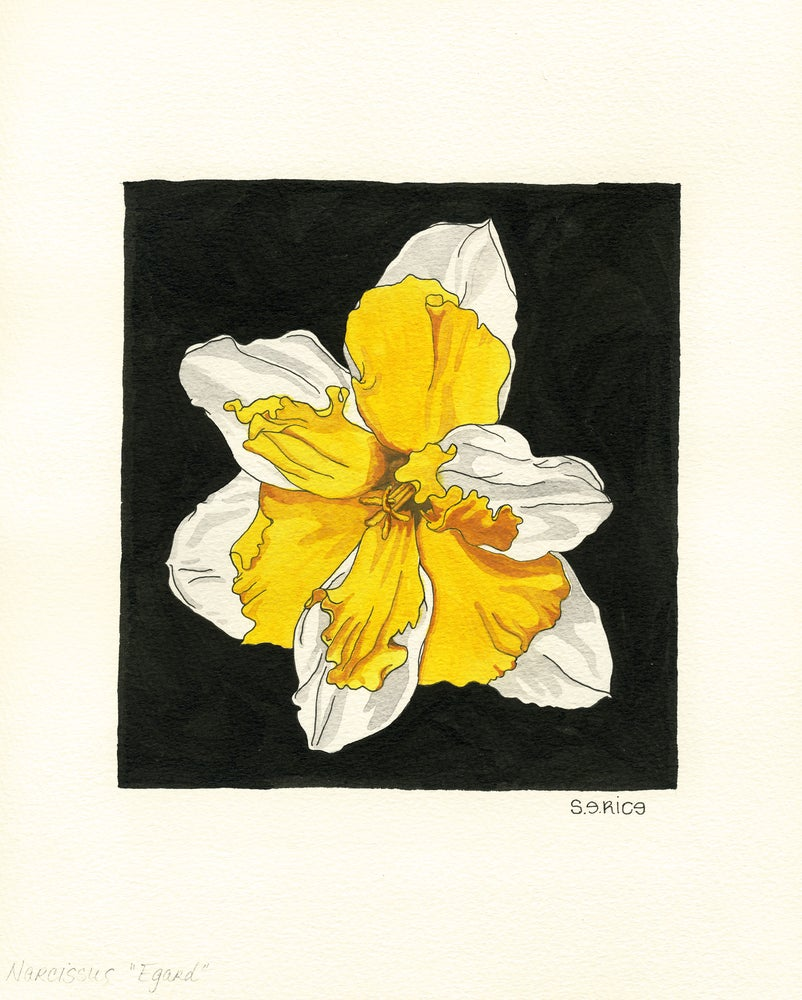 Image of Narcissus