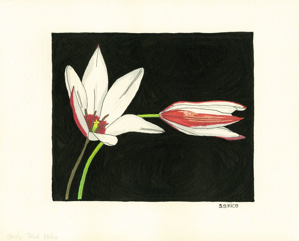 Image of Candy Striped Tulipa
