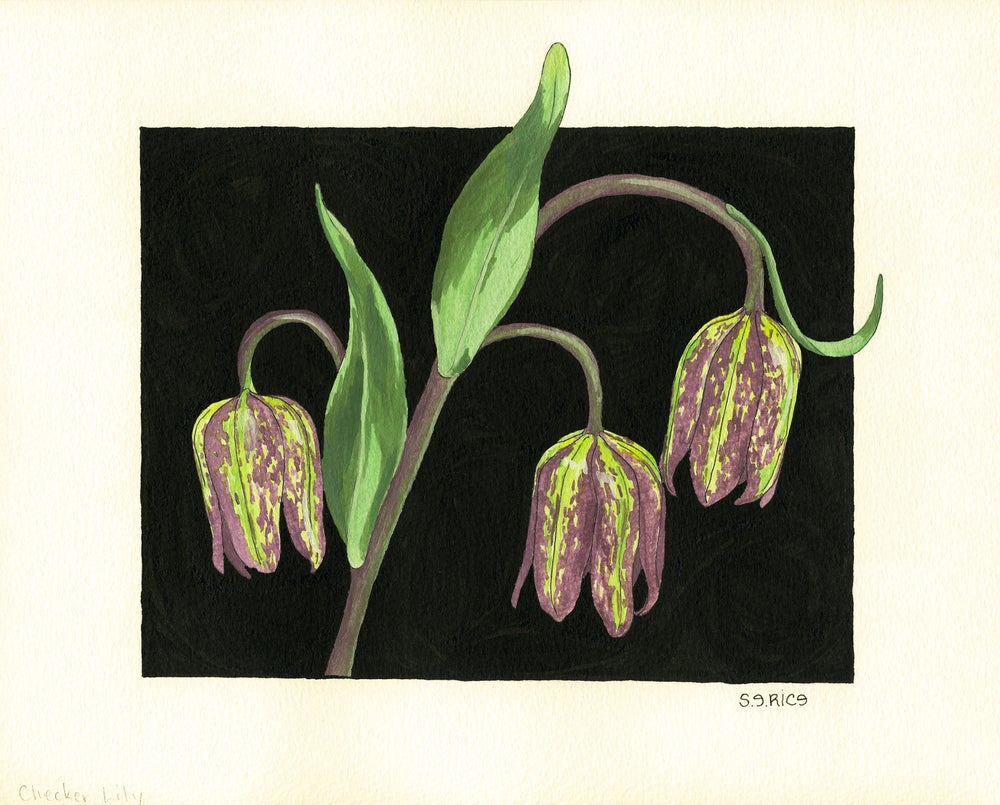 Image of Checker Lily