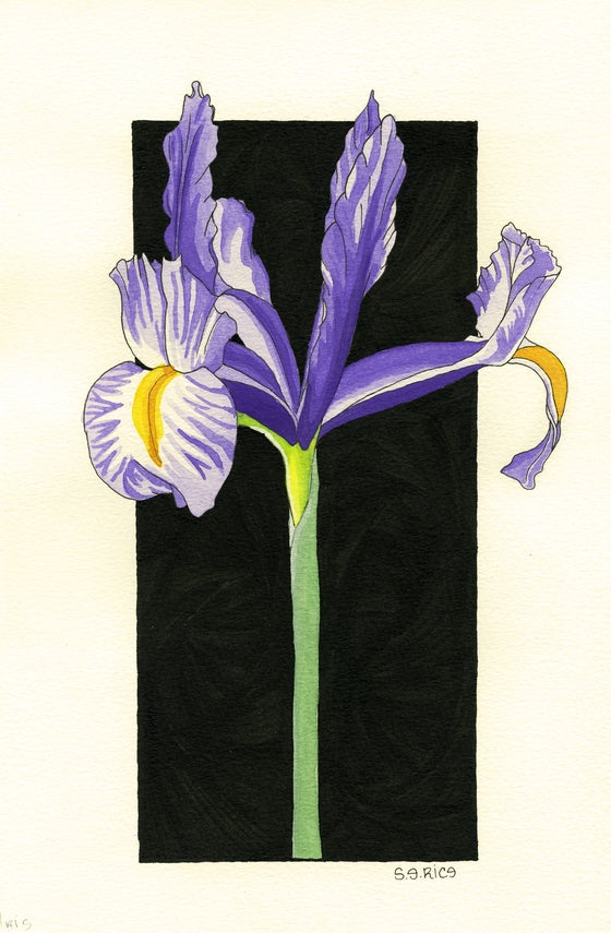 Image of Spanish Iris