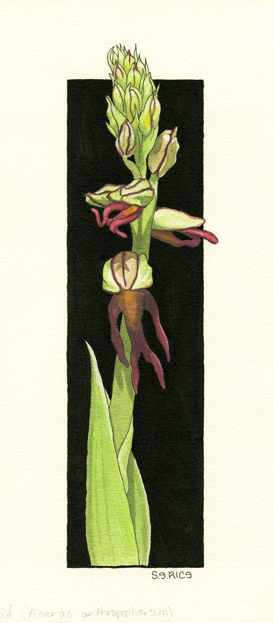 Image of The Man Orchid