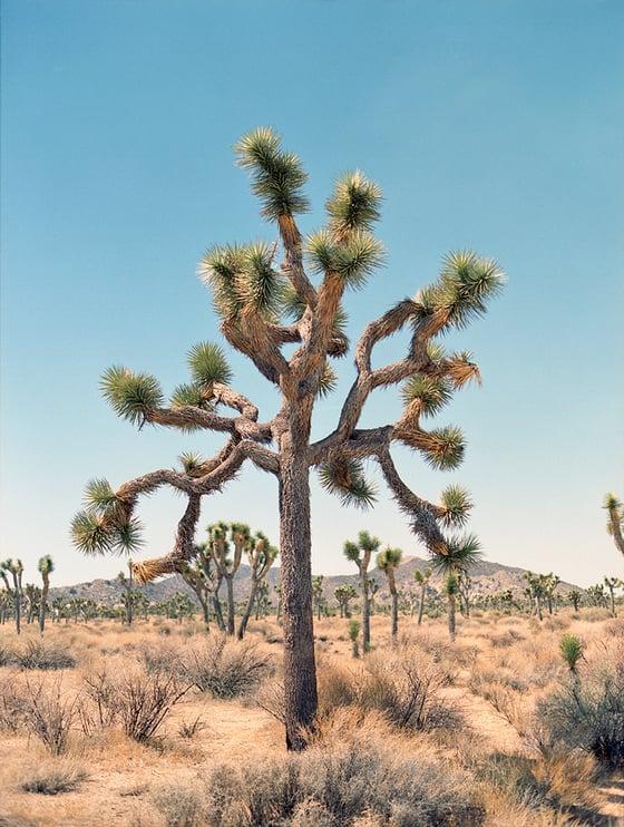 Image of Joshua Tree print #2
