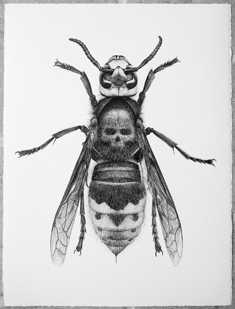 Image of Death's Head Hornet - From £35 to