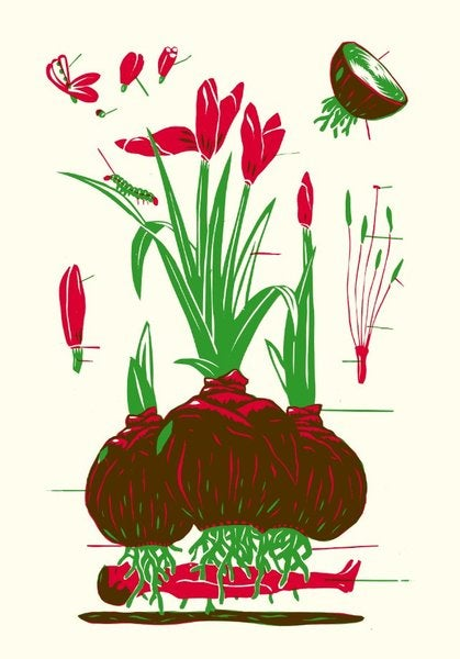 Image of »Amaryllis«
