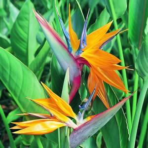 Image of Birds of Paradise