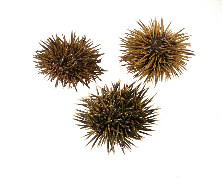 Image of Kjalarnes Sea Urchin