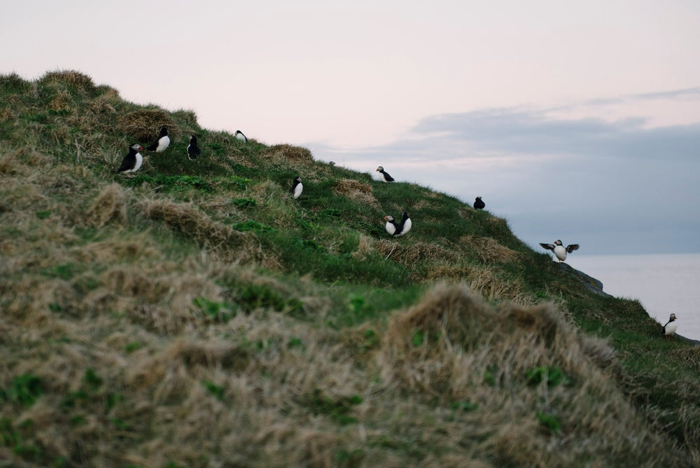 Image of Puffin Colony