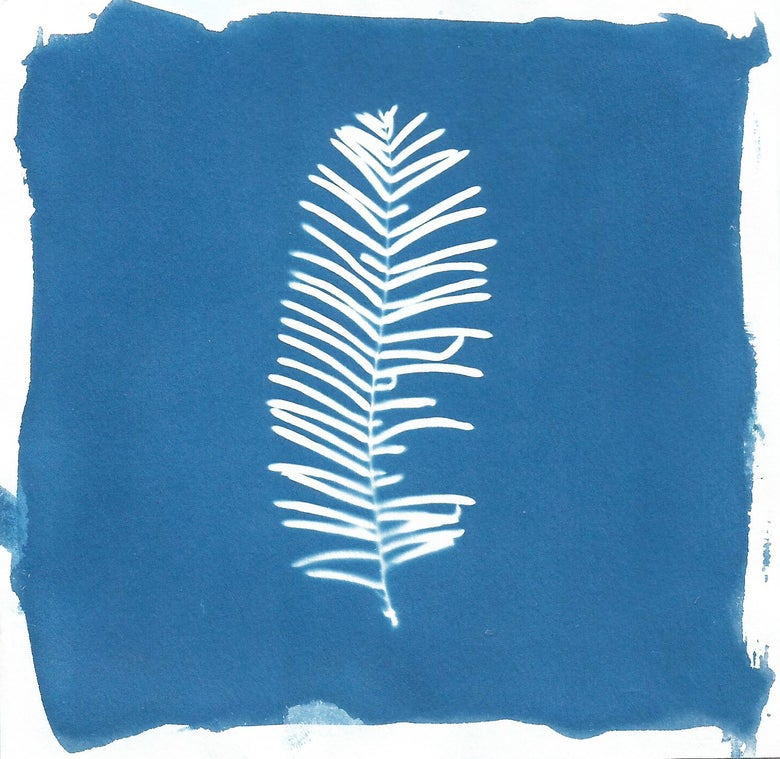 Image of Dawn Redwood Cyanotype