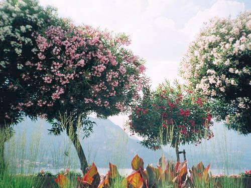 Image of Como Trees
