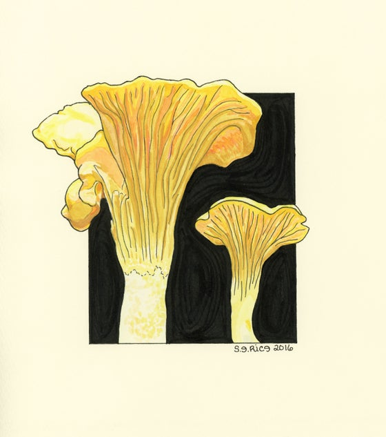 Image of Cantharellus Formosus-Pacific Golden Chanterelle