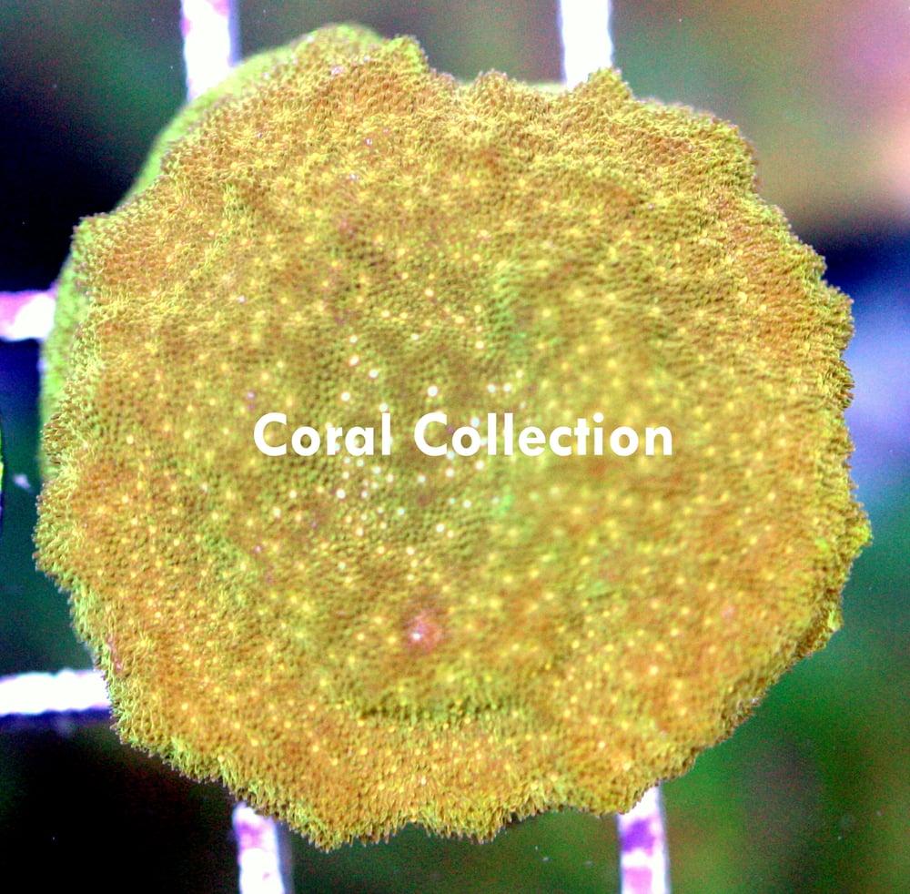 Image of CC Pot of Gold Psammacora