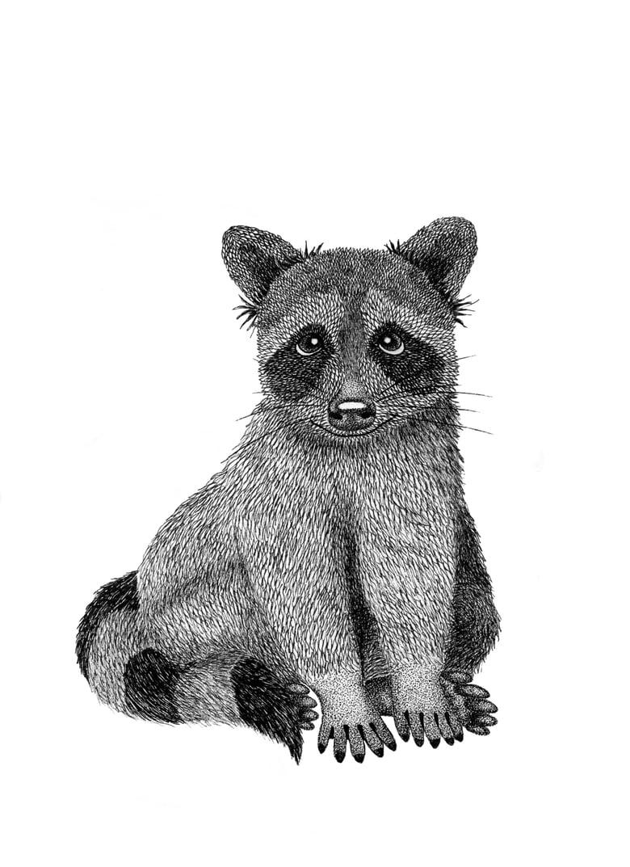 Image of Raccoon