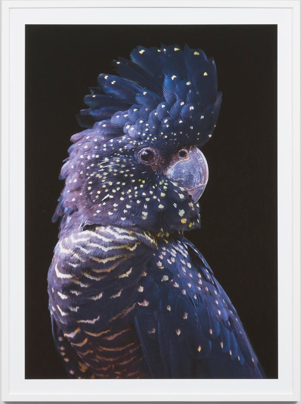 Image of Black cockatoo framed Photographic print