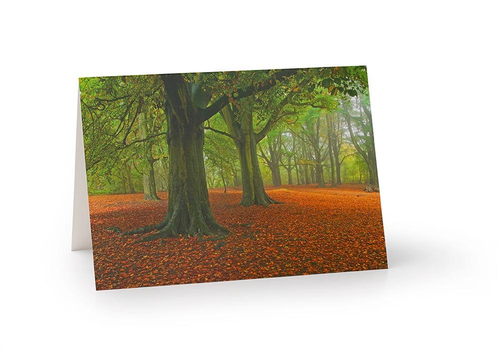 Image of Beech tree stand