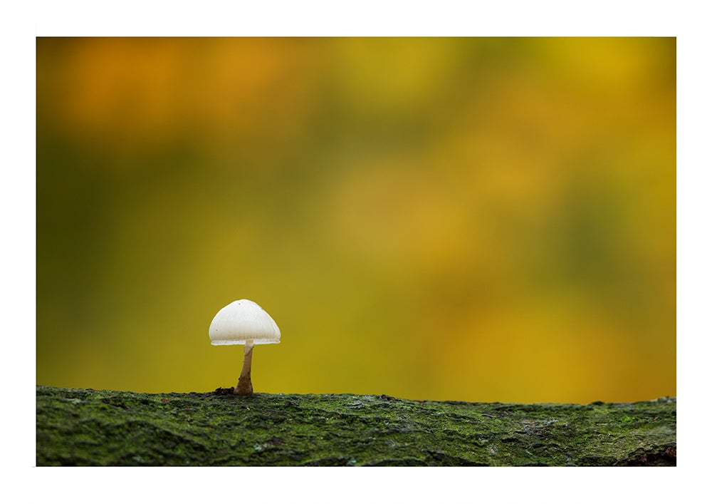 Image of Porcelain fungus