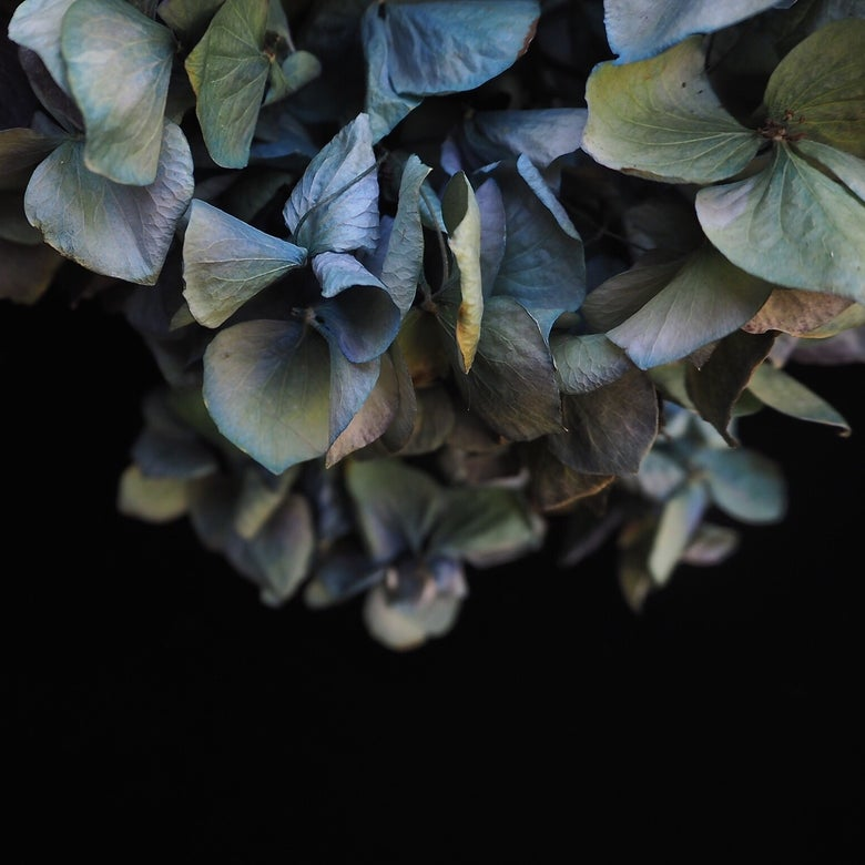 Image of The blue hydrangea