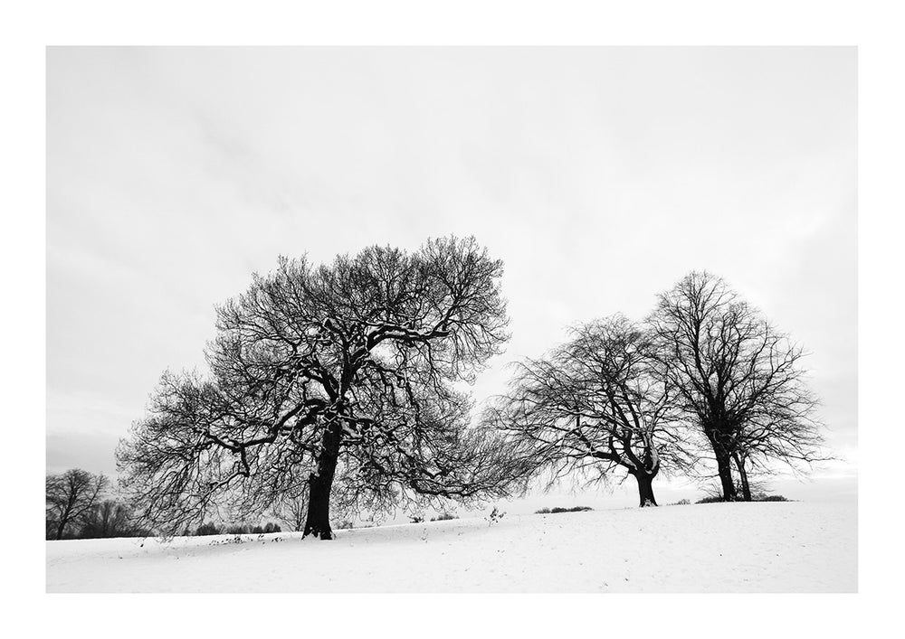 Image of Winter Oak and Beech Print