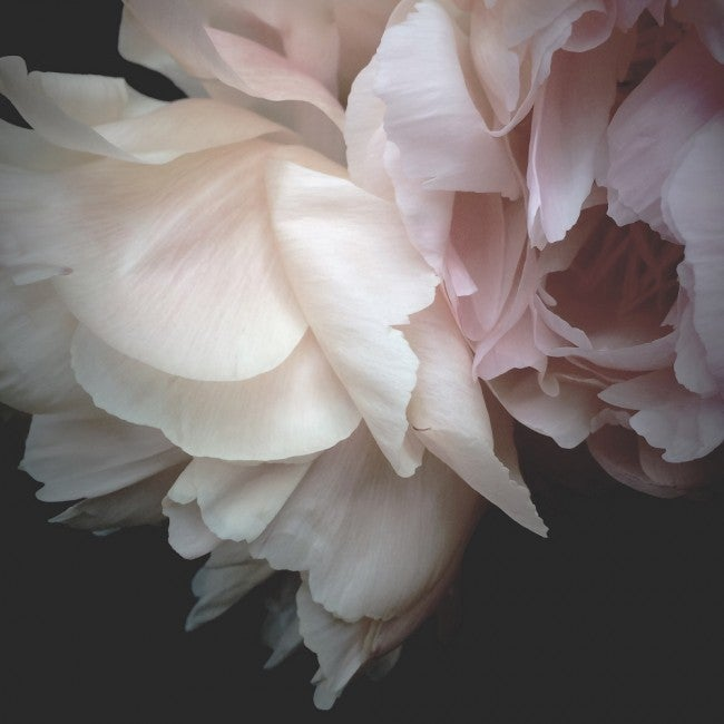 Image of The peony