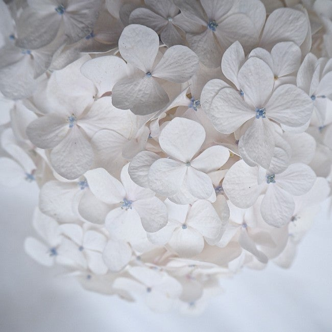 Image of The white hydrangea